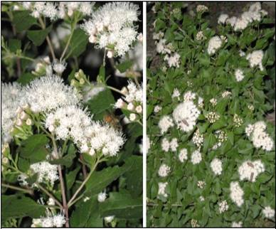 Tag archive for fragrant white mistflower n central chapter npsot description fragrant white mistflower mightylinksfo