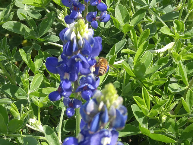 bluebonnet with bee by Dawn Hancock SWSC
