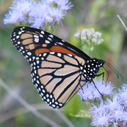Grants Available: Bring Back the Monarchs